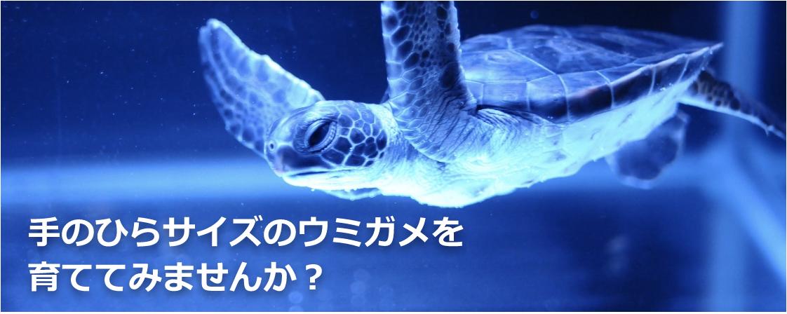 手のひらサイズのウミガメを育ててみませんか?